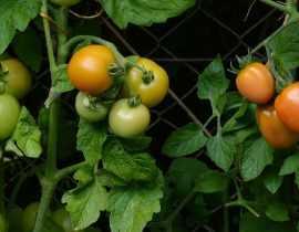 Construire une cage à tomates - Tutoriel