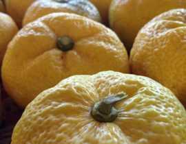 Le Yuzu : un citronnier japonais très recherché