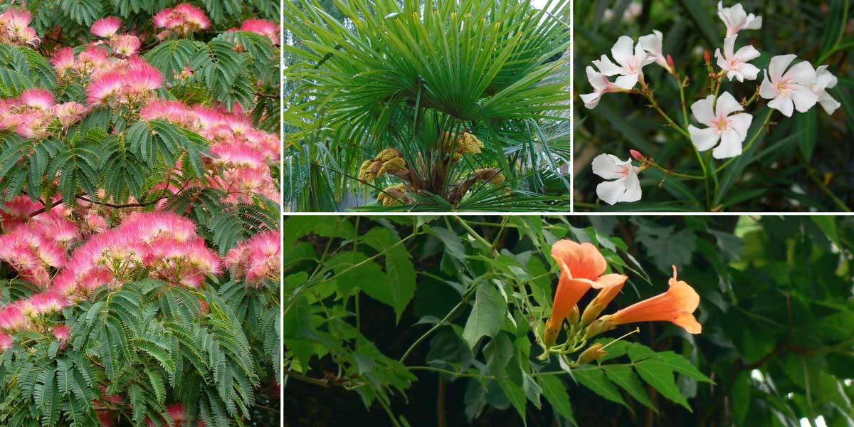 albizia arbre soie plantation taille et entretien promesse de fleurs. Black Bedroom Furniture Sets. Home Design Ideas