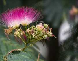 L'Albizia : planter, tailler et entretenir