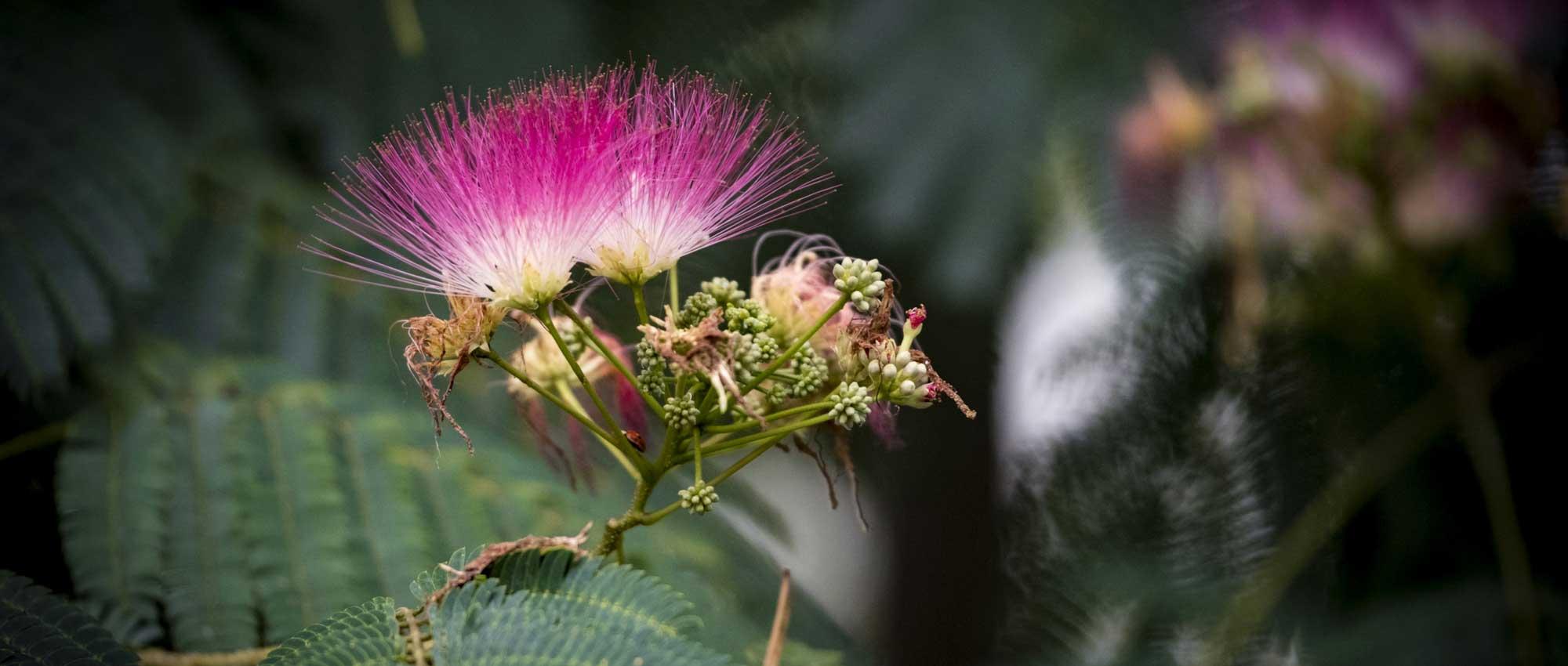 Albizia arbre soie plantation taille et entretien promesse de fleurs - Tailler un bougainvillier ...