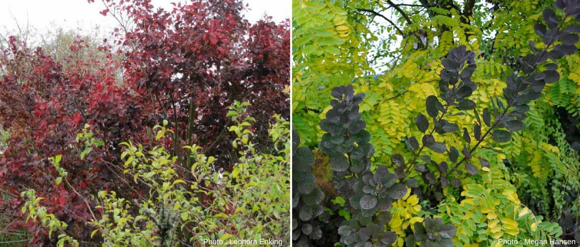 Cotinus arbre perruque planter tailler et entretenir promesse de fleurs - Quand planter une haie ...