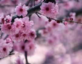 Les Cerisiers du Japon : planter, tailler et entretenir
