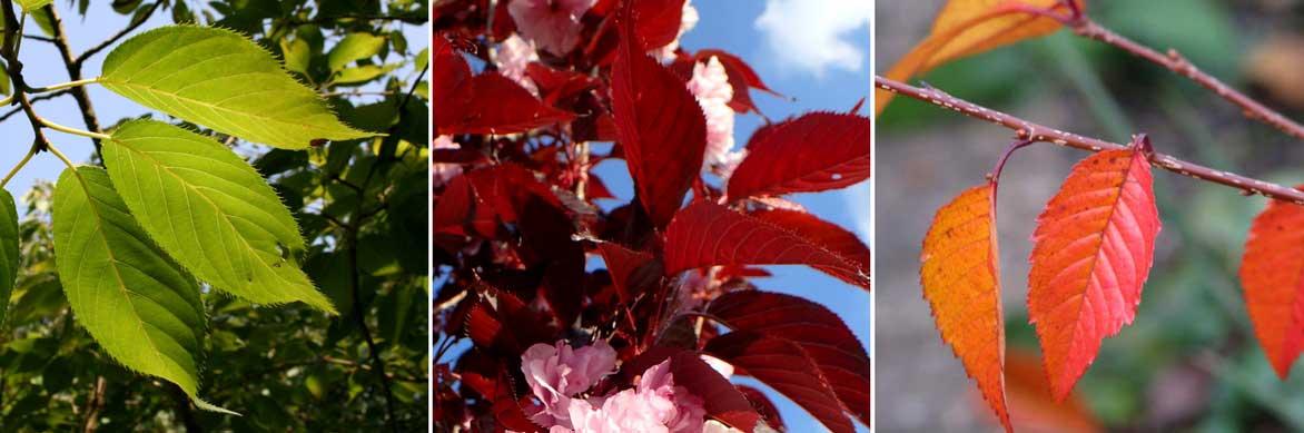 cerisiers du japon planter tailler entretenir conseils promesse de fleurs. Black Bedroom Furniture Sets. Home Design Ideas