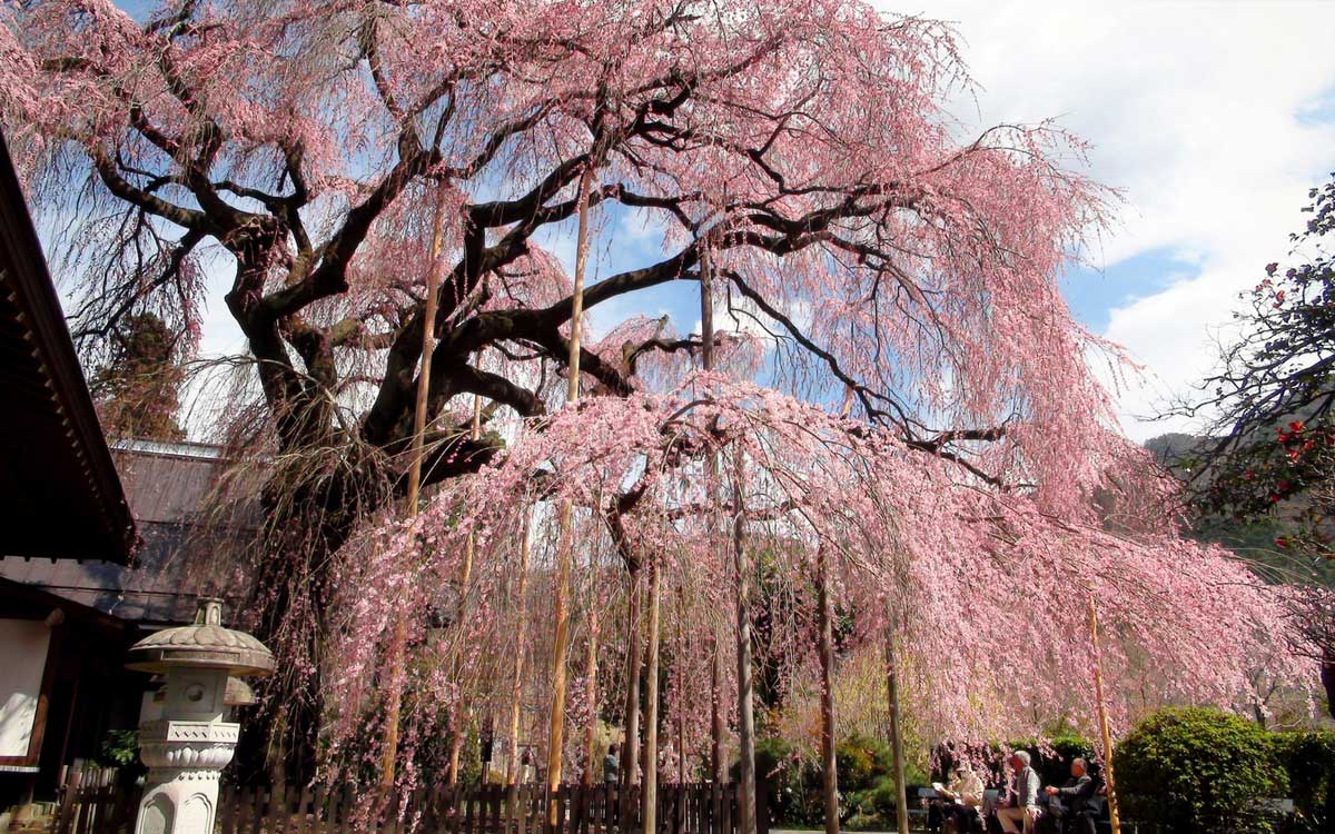 Cerisiers Du Japon Planter Tailler Entretenir Conseils