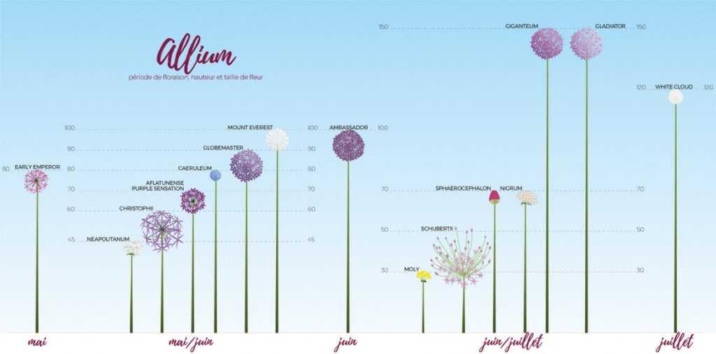 Ail d'ornement, allium, classement par taile et période de floraison