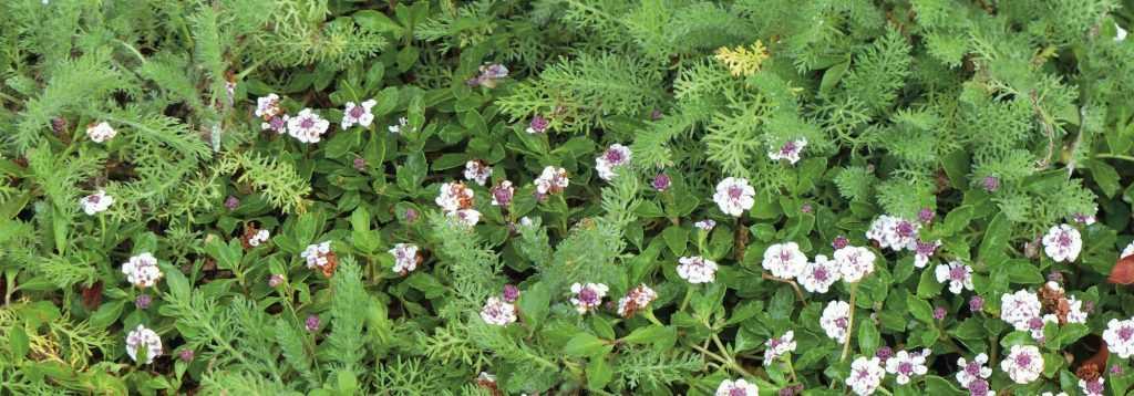 alternative au gazon 10 plantes couvre sols pouvant tre pi tin s promesse de fleurs. Black Bedroom Furniture Sets. Home Design Ideas