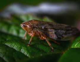Cicadelle, cercope et crachat de coucou