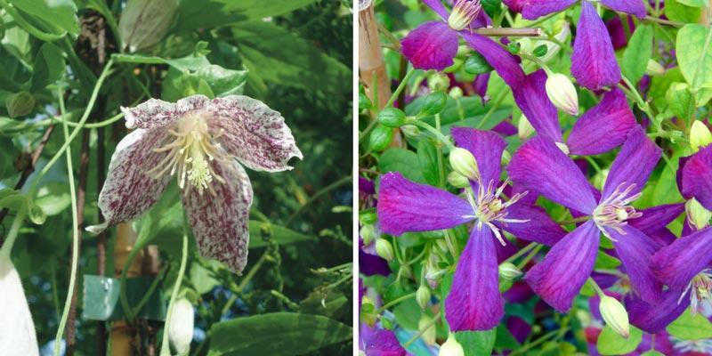 Clematis cirrhosa et climatis flammula : deux variétés pour le sud