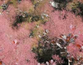 Cotinus, arbre à perruque : planter, tailler, entretenir