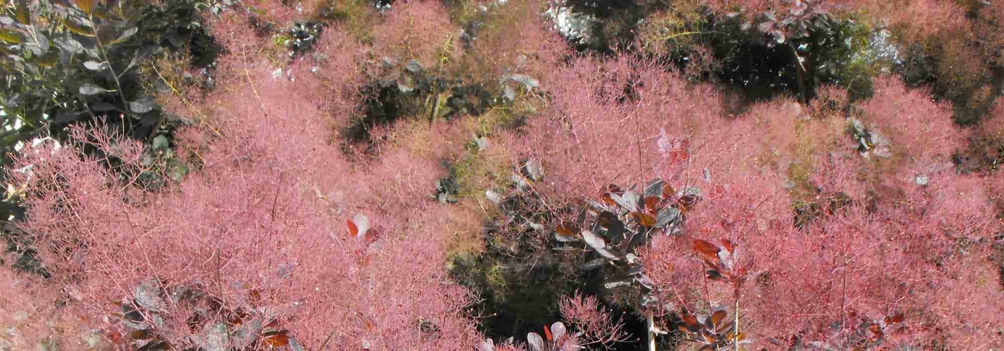 Cotinus arbre perruque planter tailler et entretenir promesse de fleurs - Comment tailler un yucca ...