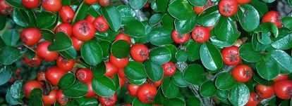 Cotoneaster : planter, tailler, entretenir