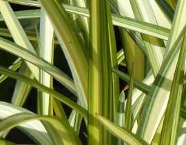 Phormium, Lin de Nouvelle-Zélande : plantation, taille, entretien