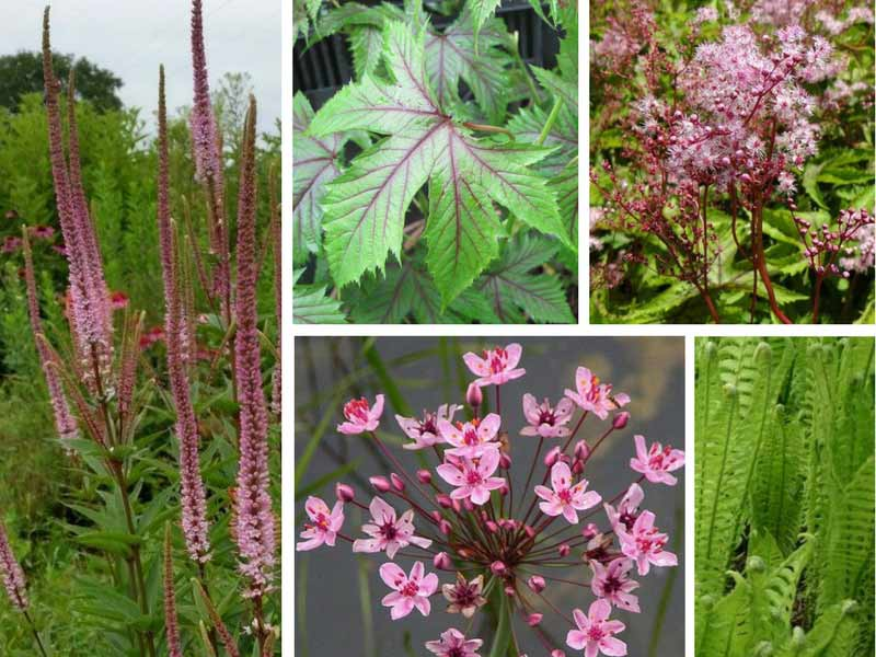 Filipendula Red Umbrella - Association pour sol humide