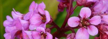 Bergenia, Plante du Savetier : plantation, culture, entretien