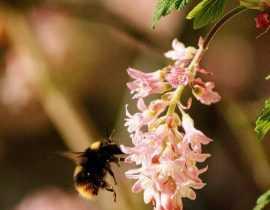 Groseillier à fleurs, Ribes : plantation, taille et entretien