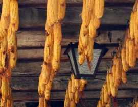 La culture du Maïs doux : semer, planter, récolter