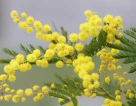 Mimosa, Acacia : entre bleu azur et jaune soleil.