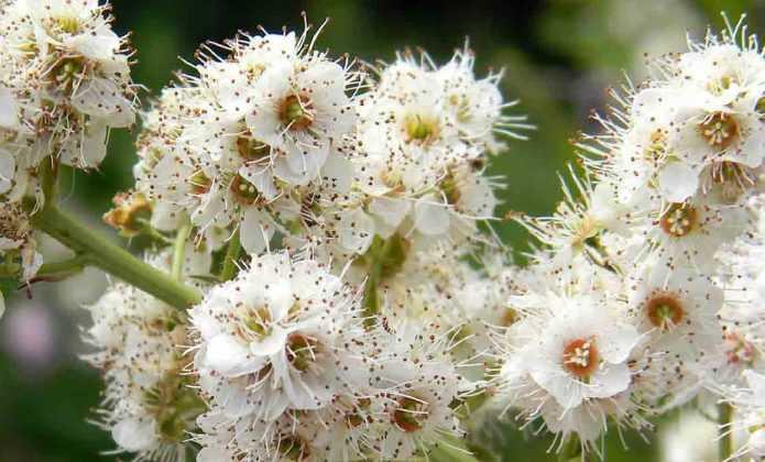 Spirée, spirea : planter, tailler et entretenir