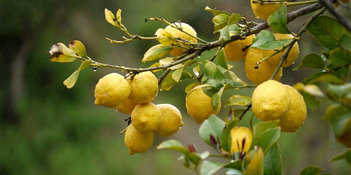 citronniers orangers et autres agrumes cultiver en pot ou au jardin promesse de fleurs. Black Bedroom Furniture Sets. Home Design Ideas