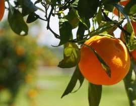Citronniers, orangers et autres agrumes : les planter et les cultiver en pot ou au jardin
