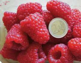 Le framboisier 'Versailles', une nouvelle variété remontante, à très gros fruits