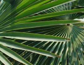 Les palmiers : planter, cultiver et entretenir