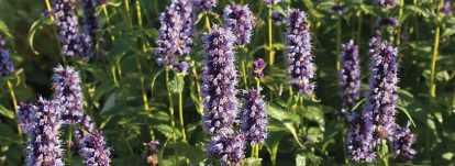 Agastache : planter, cultiver et entretenir