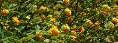 Corête du Japon, Kerria japonica : planter, tailler, entretenir