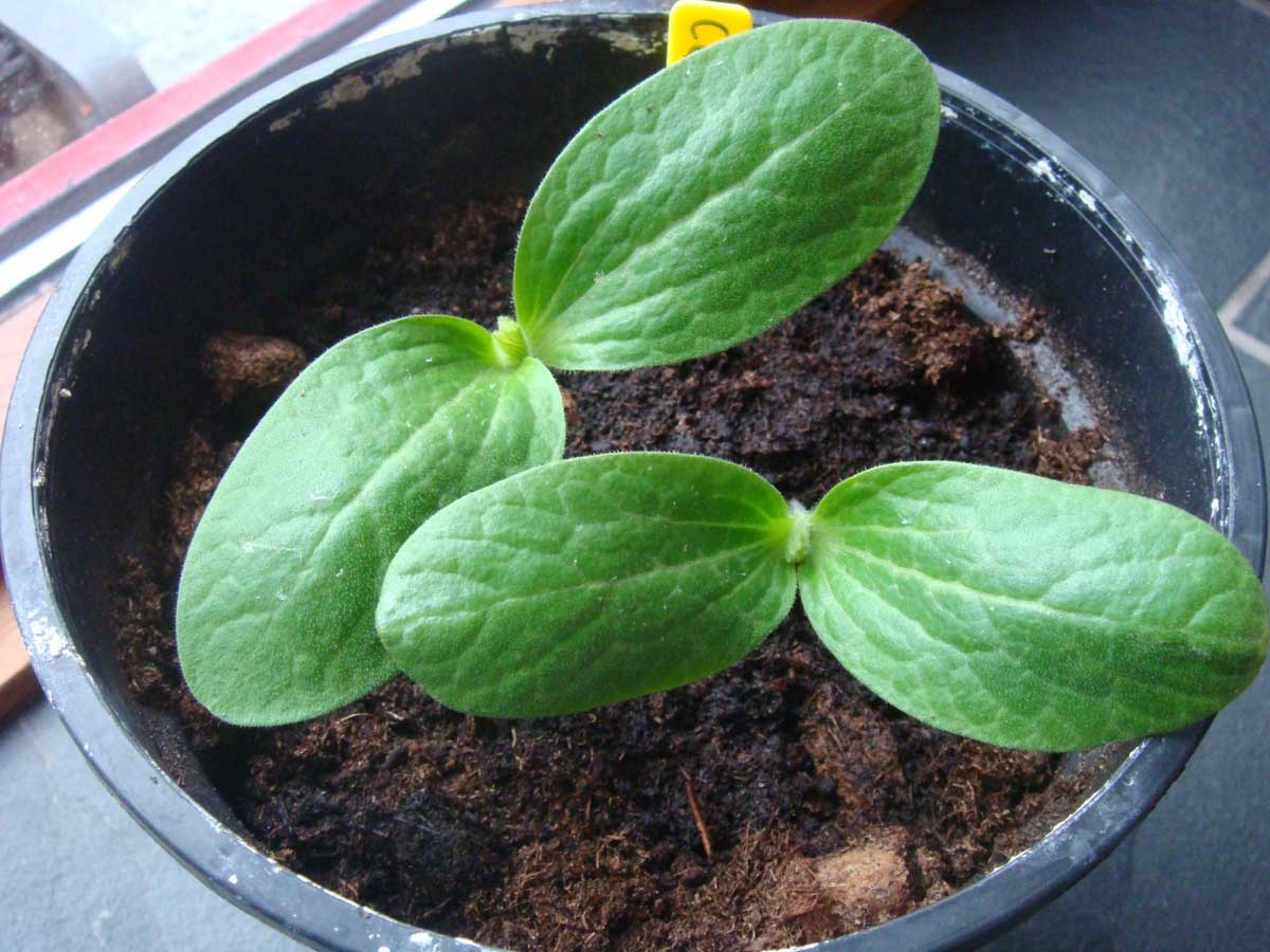 La courgette semis plantation culture conseils - Comment conserver des courgettes du jardin ...