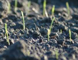 """Le faux semis, une technique efficace pour réduire les """"mauvaises herbes"""""""