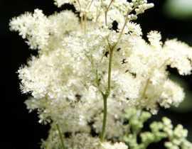 Filipendule, Reine des Prés : planter et entretenir