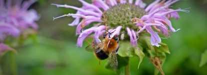 Monarde : planter, cultiver et entretenir
