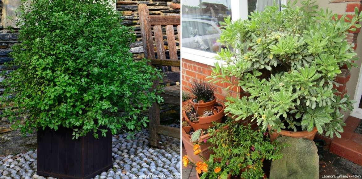 Pittosporum planter cultiver et tailler nos conseils - Quel arbuste planter en octobre ...