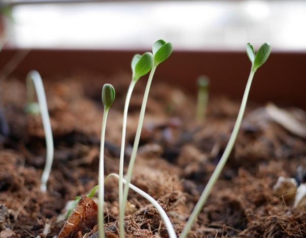 Mes semis filent pourquoi comment viter ce ph nom ne for Entretien poivron jardin