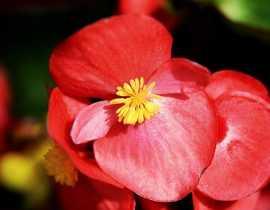 Les bégonias à massif : planter, cultiver et entretenir