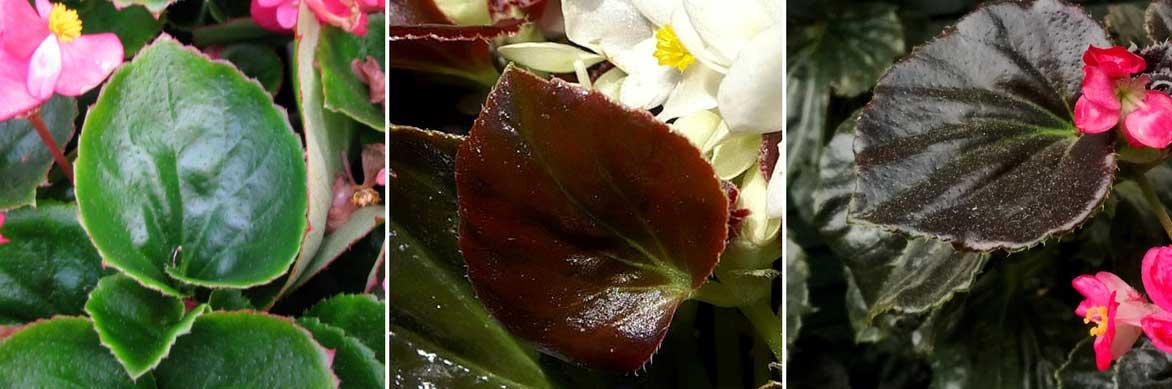 Super Giant Punch-Begonia pétales 27//Bégonia