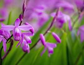 Bletilla, Orchidée jacinthe : planter, cultiver et entretenir