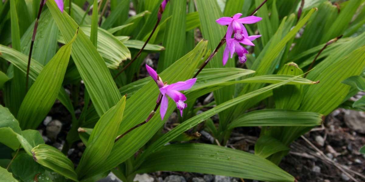 Bletilla striata plantation culture et entretien de cette orchid e terrestre blog promesse - Orchidee entretien apres floraison ...