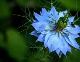 Nigelle de Damas : semis, culture et entretien