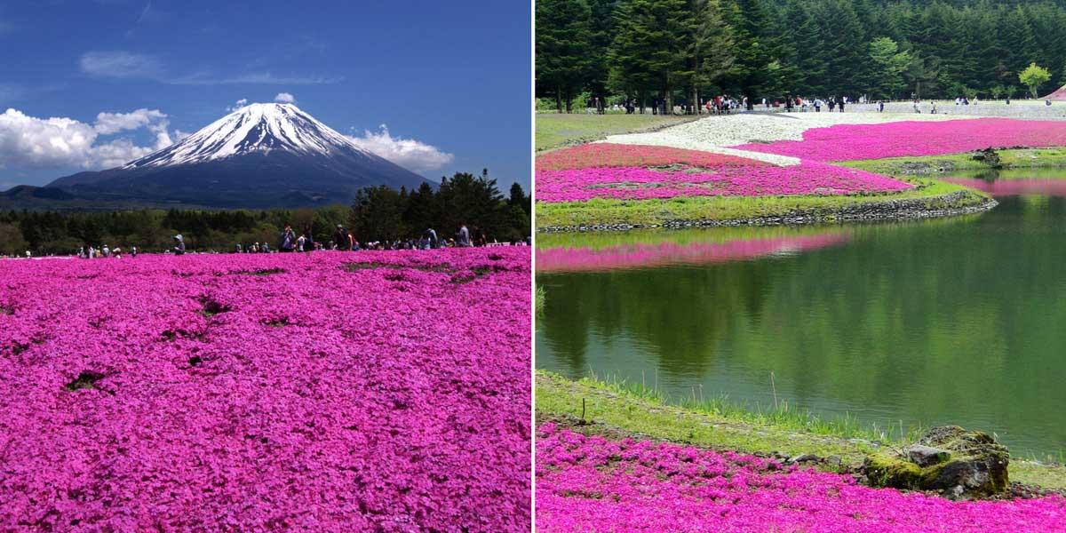 """Les parterres de phlox subulata au festival """"Fuji Shibazakura"""", au Japon"""