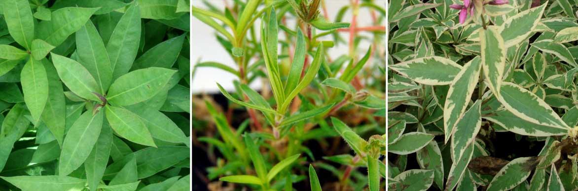 Les feuilles des phlox paniculés et subulata