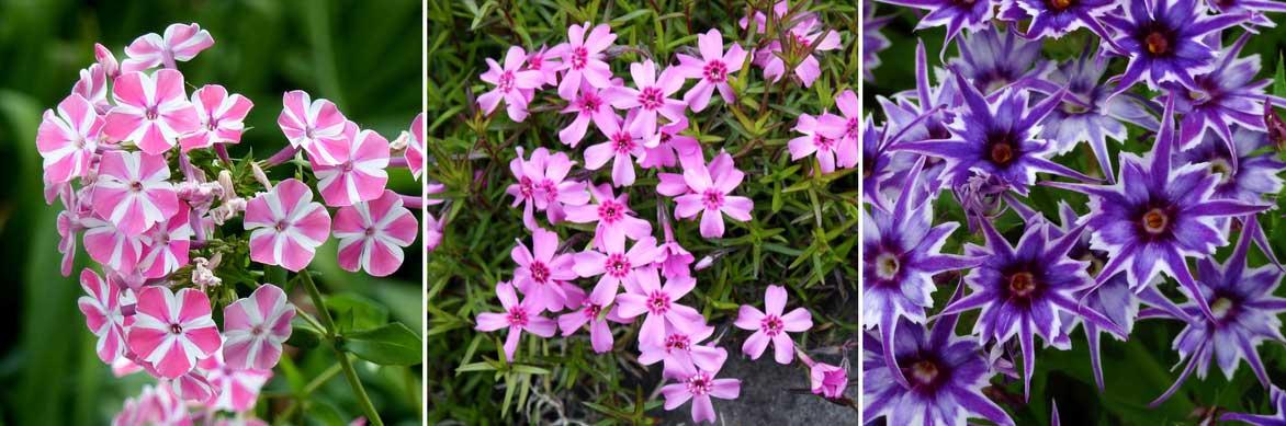 Les fleurs colorées des phlox paniculés, subulata et Phlox de Drummond