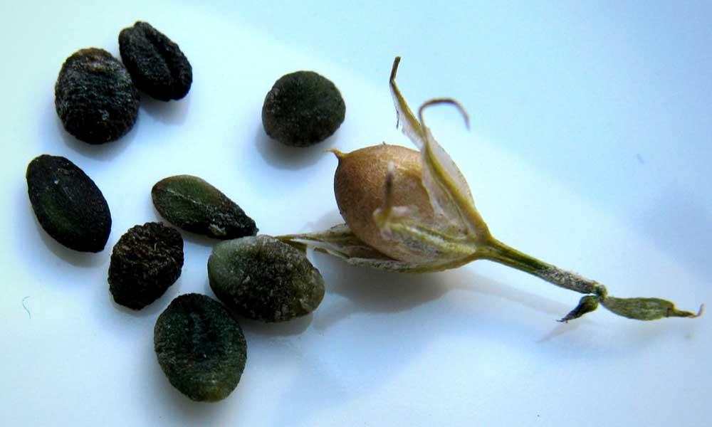Les capsules et les graines du phlox