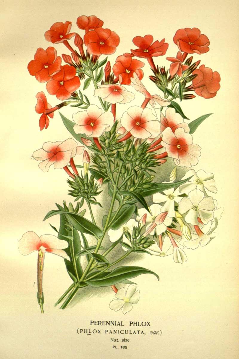 Planche botanique - Phlox paniculé