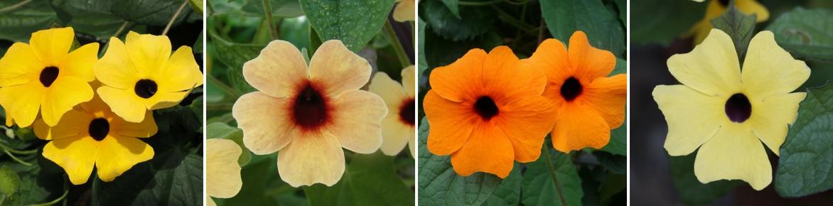 Suzanne aux yeux noirs, thunbergia : planter, semer et entretenir