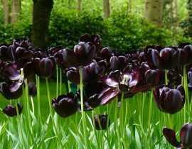 20 fleurs noires, naturelles, pour votre jardin