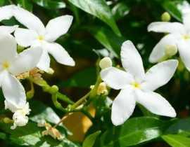 Jasmin : plantation, entretien, taille