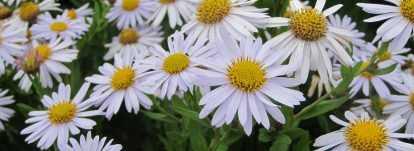 Kalimeris : planter, cultiver, entretenir