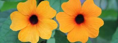 Suzanne aux yeux noir : semer, planter et entretenir